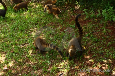 Grass coatis iguacu falls iguassu animal.