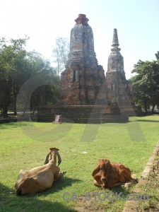 Grass cow sky buddhist ayutthaya.