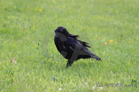 Grass green bird crow animal.