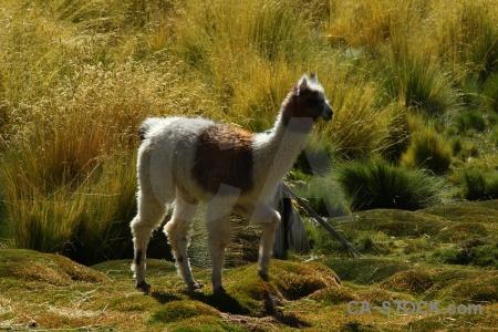 Grass llama andes el tatio animal.
