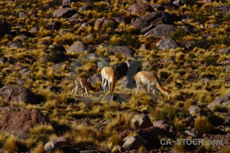 Grass vicuna bush rock chile.
