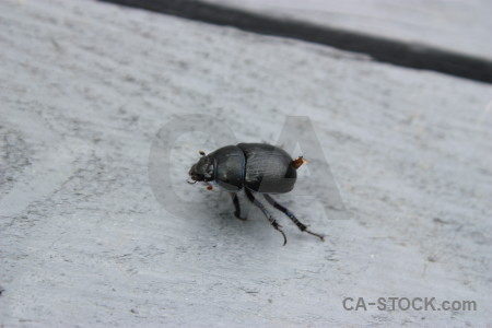 Gray animal beetle insect.