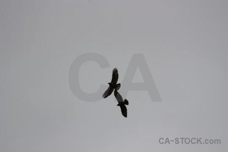 Gray animal flying sky bird.