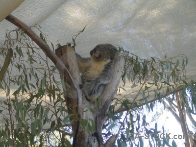 Gray koala animal.