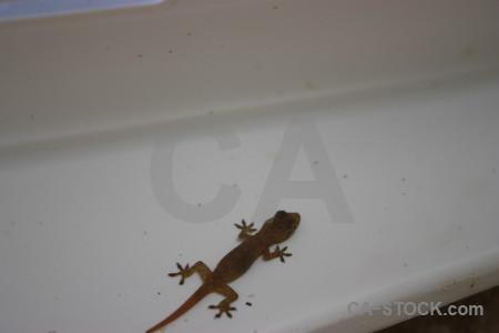 Gray reptile gecko lizard animal.