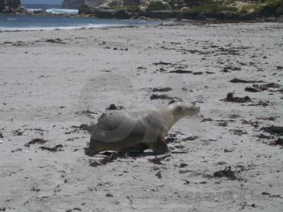 Gray seal animal.
