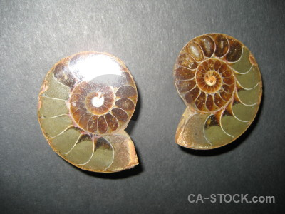 Gray shell object fossil ammonite.
