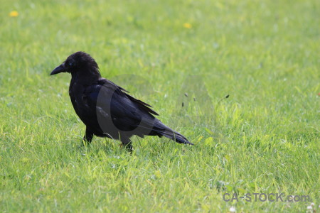 Green animal bird grass crow.