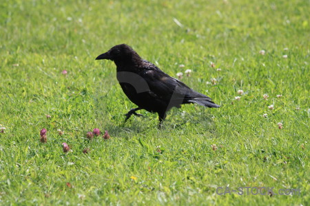 Green animal crow bird grass.