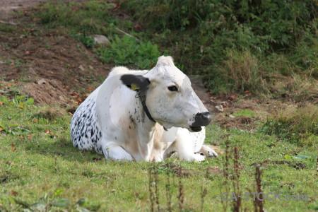 Green cattle animal.