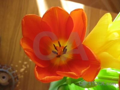 Green flower orange plant tulip.