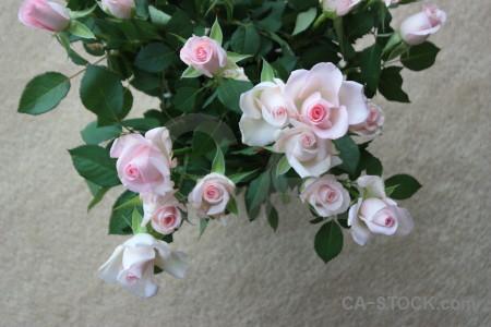 Green flower plant gray rose.