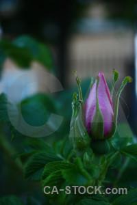 Green flower rose plant.