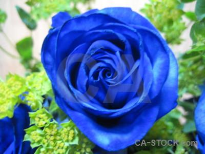 Green flower rose plant blue.