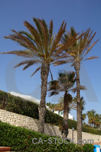 Green javea palm tree sky spain.