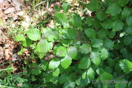 Green leaf.