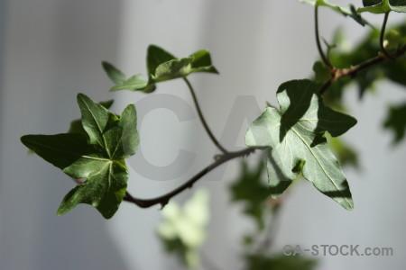 Green leaf gray plant ivy.