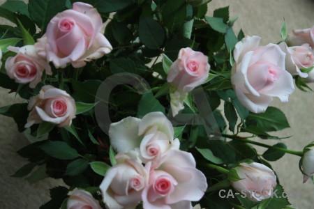 Green plant rose flower.