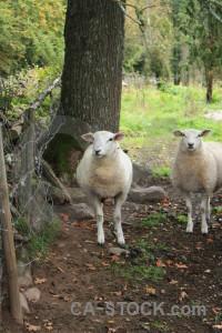 Green sheep animal.
