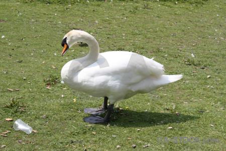 Green swan animal aquatic bird.