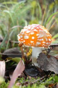 Green toadstool fungus orange mushroom.