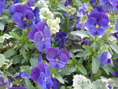 Green violet purple flower blue.