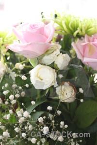 Green white pink rose flower.