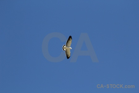 Hawk altitude bird south america colca valley.