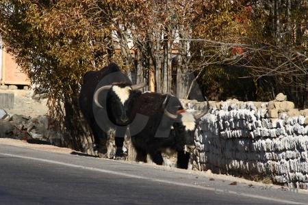 Himalayan horn tree yak asia.