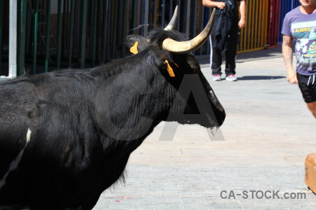 Horn animal javea bull running.