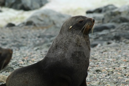 Horseshoe island rock square bay fur seal whisker.