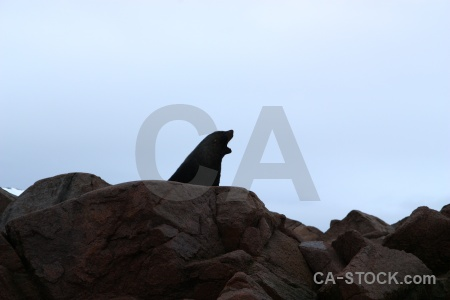 Horseshoe island yawn antarctica fur seal cloud.