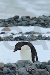 Ice adelie antarctica antarctic peninsula millerand island.