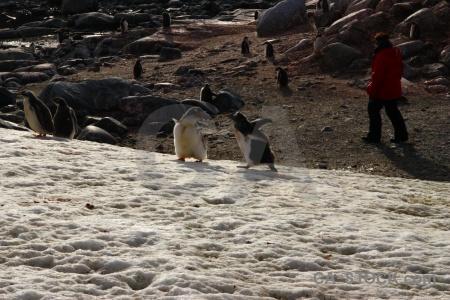 Ice petermann island antarctica cruise gentoo animal.