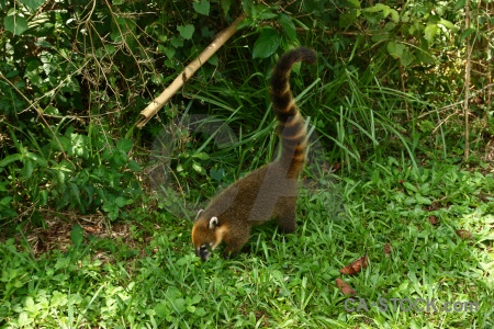 Iguassu falls raccoon south america animal iguazu.