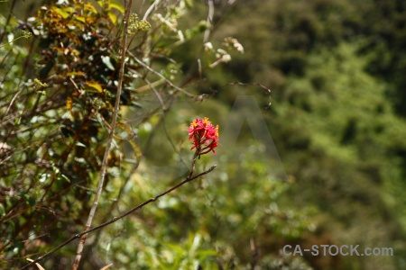 Inca trail plant south america flower andes.