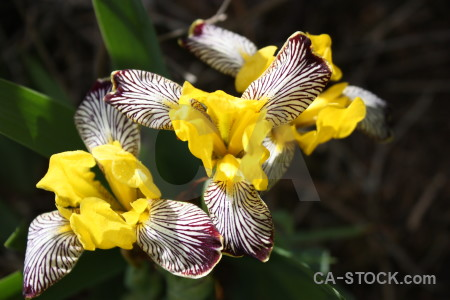 Iris yellow flower plant black.
