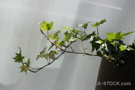 Ivy leaf green plant gray.