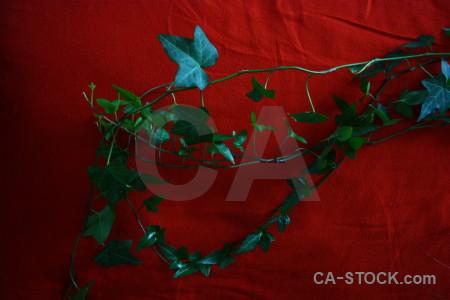 Ivy plant leaf red.