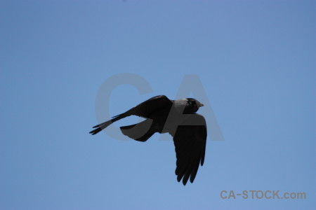 Jackdaw bird flying sky animal.