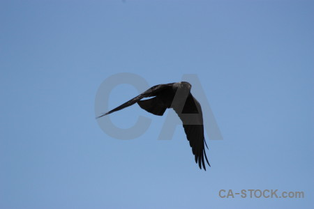 Jackdaw flying animal sky bird.