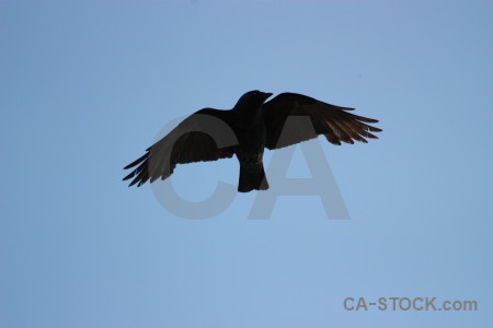 Jackdaw flying bird sky animal.
