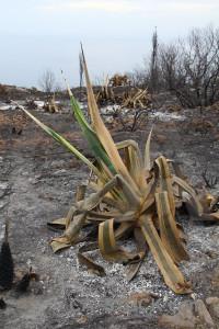 Javea ash burnt montgo fire plant.
