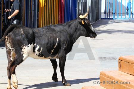 Javea bull running europe white spain.