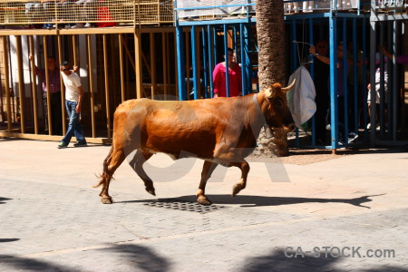 Javea bull running horn person spain.
