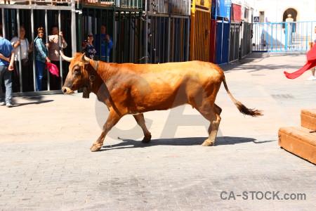 Javea bull running white spain animal.