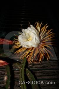 Javea petal flower spain black.