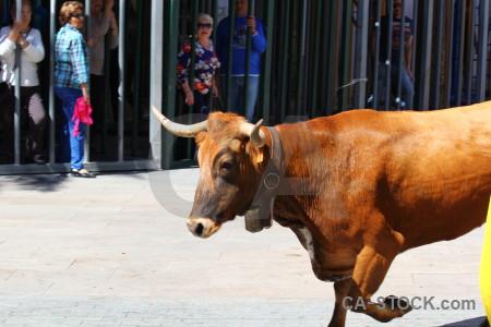 Javea white animal bull running.