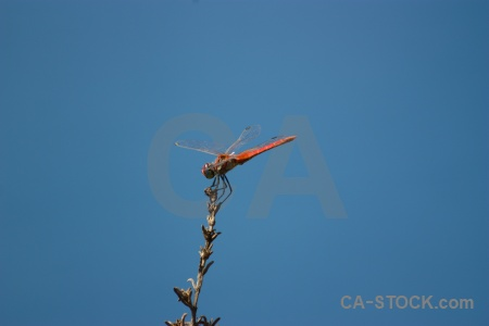 Javea wing branch sky dragonfly.