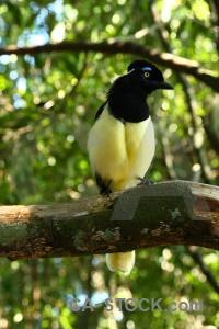 Jay bird argentina unesco iguazu falls.